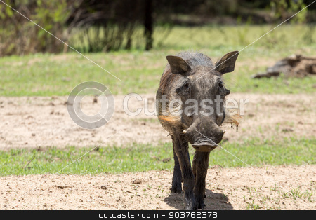 African warthog stock photo, Warthog at the Gaborone Game Reserve in Gaborone, Botswana by derejeb