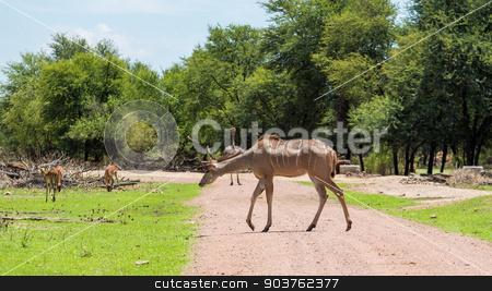 Kudu stock photo, Kudu at the Gaborone Game Reserve in Gaborone, Botswana by derejeb
