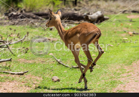 Impala  stock photo, Impala at the Gaborone Game Reserve in Gaborone, Botswana by derejeb