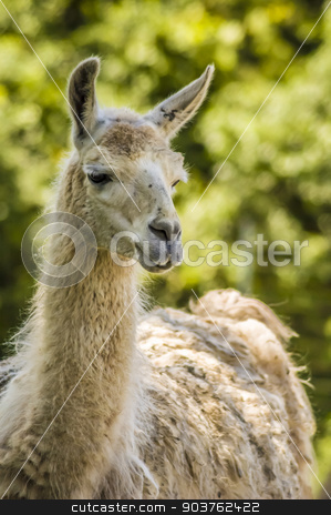Llama stock photo, close-up shot of a llama with blurry background by Vlad Podkhlebnik