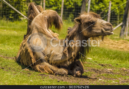Camel stock photo, view of a camel laying in the grass by Vlad Podkhlebnik