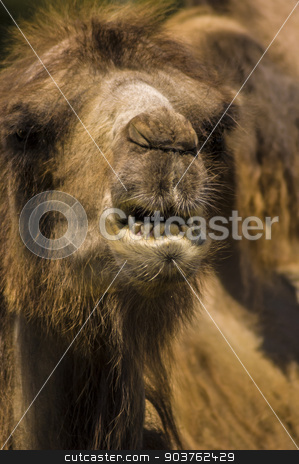 Camel stock photo, Close-up view of a camel's head by Vlad Podkhlebnik