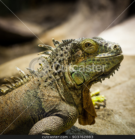 Green Iguana stock photo, Latin name: Iguana Iguana. Size 150 cm totalling by Paolo Gallo