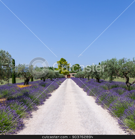 Lavander garden stock photo, Provence, France. Lavander field during summer season. by Paolo Gallo