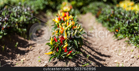 Hot peppers plant stock photo, Spring season. Hot peppers plant in a vegetables garden by Paolo Gallo