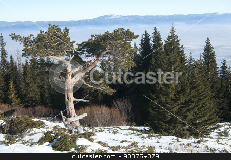 Coniferous tree amid pine forest stock photo, Coniferous tree amid pine forest on distant mountains background on clear winter sunny day by Aleksandar Varbenov