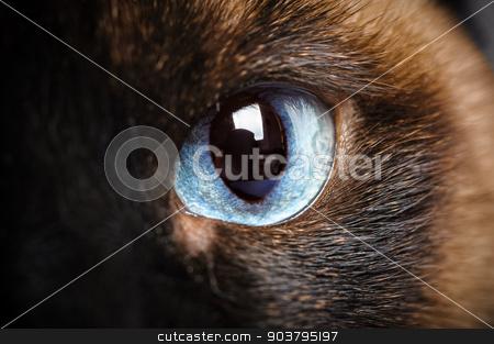 one siamese cat eye macro closeup stock photo, one siamese cat eye macro extreme closeup with reflection of photographer by Serghei Starus