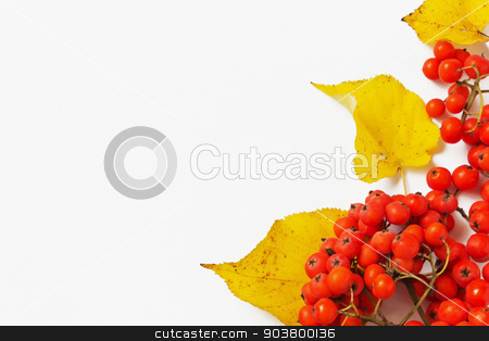 branch of red mountain ash stock photo, branch of red mountain ash and autumn leaves on a light background. autumn motifs. copy space background by Jevgeni Proshin
