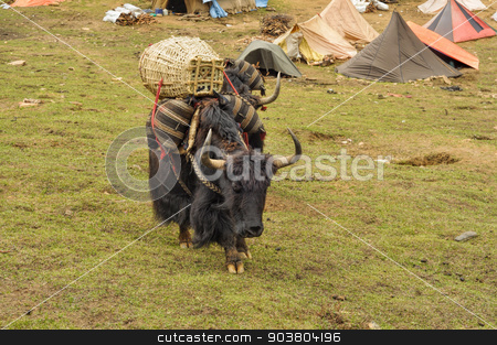Yak in Nepal stock photo, Yak in carrying goods in Himalayas mountains in Nepal by Michal Knitl