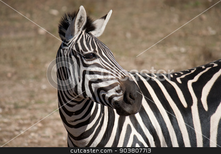 Zebra stock photo, A view of a beautiful zebra looking at something. by Scott Sanders