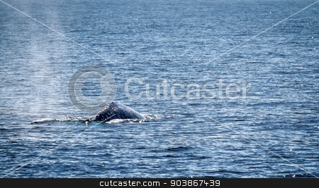 Gray Whale stock photo, Gray whale swimming in the ocean near Ventura California. by Henrik Lehnerer