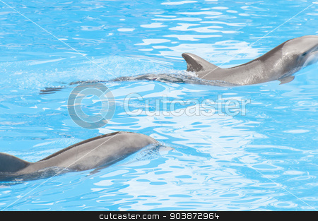 dolphins swimming  stock photo, dolphins swimming in the saltwater pool by Arnau Ramos Oviedo