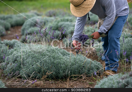 Man Harvesting Lavender stock photo, Man harvesting lavender on Maui hill in Hawaii by Scott Griessel