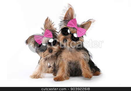 Yorkshire Terrier Puppies Dressed up in Pink stock photo, Cute Yorkshire Terrier Puppies Dressed up in Pink by Katrina Brown