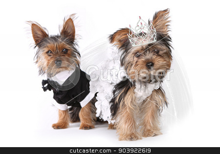 Bride and Groom Yorkshire Terrier Puppies on White stock photo, Bridal Couple Yorkshire Terrier Puppies on White Background by Katrina Brown