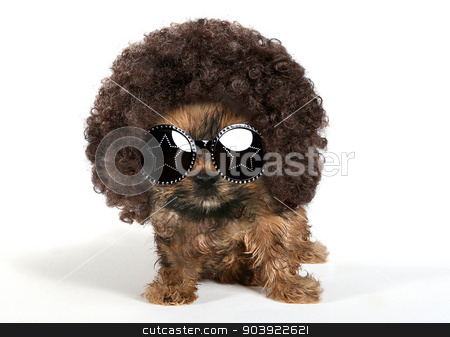 Yorkshire Terrier Puppy Wearing an Afro and Sun Glasses stock photo, Baby Yorkshire Terrier Puppy Wearing an Afro and Sun Glasses by Katrina Brown