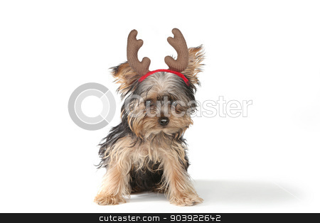 Christmas Themed Yorkshire Terriers on White stock photo, Christmas Themed Yorkshire Terrier on White Background by Katrina Brown