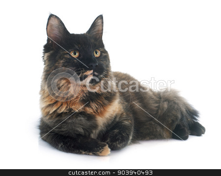 maine coon cat stock photo, maine coon cat in front of white background by Bonzami Emmanuelle