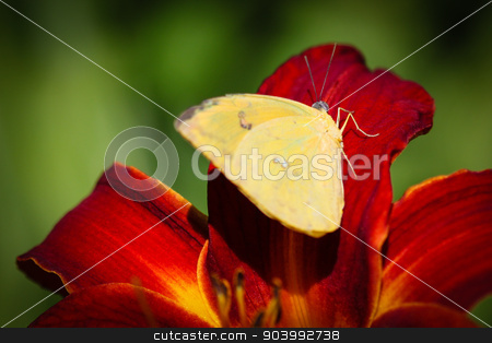 Cloudless Sulphur Phoebis Sennae stock photo, A colorful Cloudless Sulphur Phoebis Sennae butterfly sitting on a red Lily. by Henrik Lehnerer
