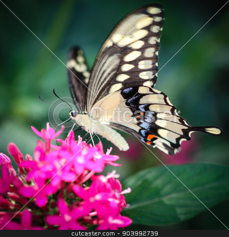 Giant Swallowtail Papilio Cresphontes stock photo, A colorful Giant Swallowtail Papilio Cresphontes butterfly. by Henrik Lehnerer
