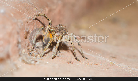 Wolf Spider Carrying Babies stock photo, Baby spiders on back of mother crawling on floor by Scott Griessel