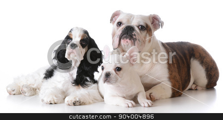 three puppies stock photo, three purebred puppies laying down together on white background by John McAllister