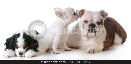 three puppies stock photo, three purebred puppies  together on white background by John McAllister