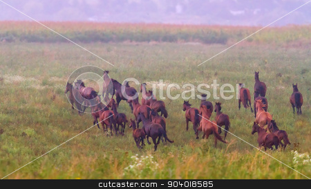 Herd of horses run at sunset stock photo, Beautiful horse herd run in the meadow at sunset by Callipso