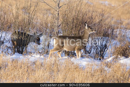 Deer in winter  stock photo, Deer in winter in Saskatchewan Canada scenic by Mark Duffy