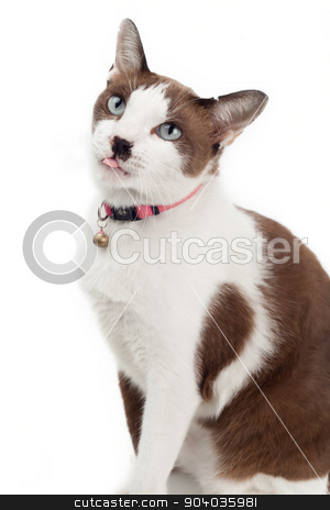 Cute cat tongue out stock photo, Cute brown cat sitting with tongue out on white background by phasinphoto