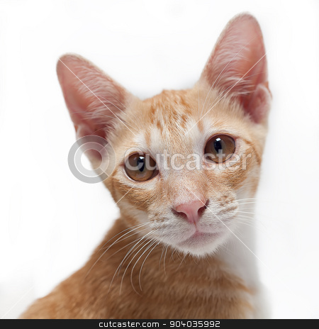 Cute kitten stock photo, Cute brown kitten close up on white background by phasinphoto