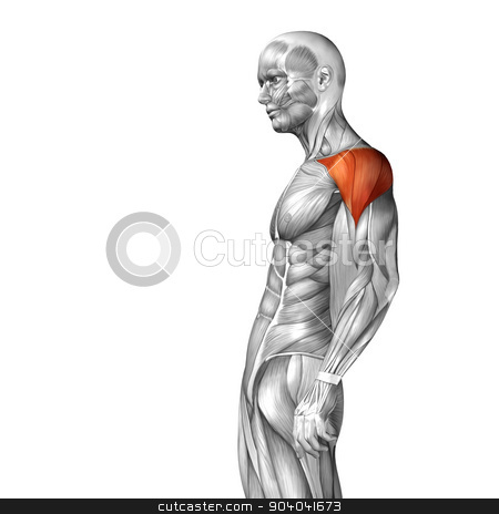 Concept or conceptual 3D deltoid or chest human anatomy or anatomical and muscle isolated on white background stock photo,  by design36