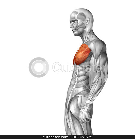 Concept or conceptual 3D pectoralis or chest human anatomy or anatomical and muscle isolated on white background stock photo,  by design36