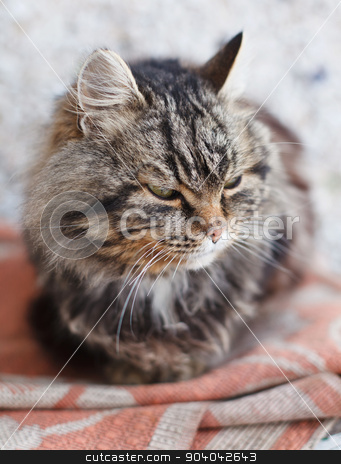 brown cat stock photo, serious brown cat with yellow eyes by serkucher