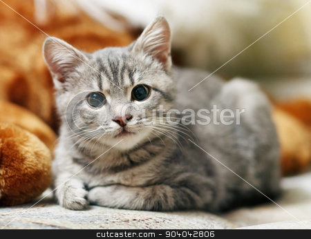 gray pussy is interesting stock photo, lovely gray pussy is interesting by serkucher