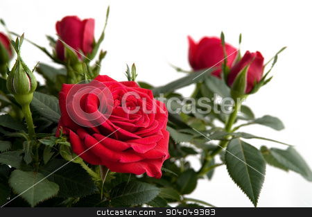 Red roses, isolated on white background stock photo, Close up of red roses, isolated on white background by Jakob Dam Knudsen
