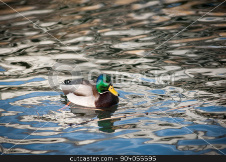 drake on water stock photo, male of duck (drake) on a water by Maria Itina