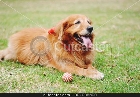Labrador dog outdoors stock photo, Portrait of a Labrador dog outdoors on a spring day. by nicolas menijes