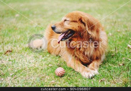 Labrador dog outdoors stock photo, Portrait of a Labrador dog outdoors on a spring day. by nicolas menijes