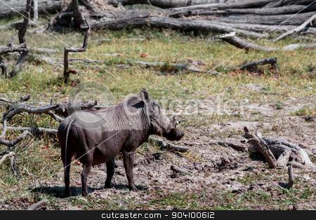 African Wildlife Warthog stock photo, African Wildlife Warthog, National Park Moremi, Okawango, Botswana, wildlife photography by Artush