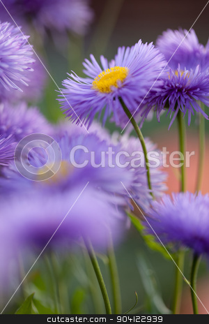Violet flowers for nice pattern stock photo, Beautiful flowers. Violet camomile daisy floral background by Dmytro Buianskyi