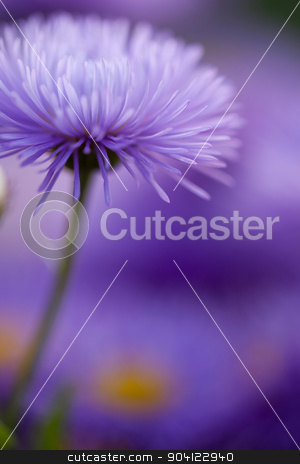 Closeup violet flowers for nice pattern stock photo, Beautiful flowers. Violet camomile daisy floral background by Dmytro Buianskyi