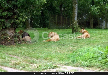 lion and lionesses stock photo, wild animals by Saphire Ovadia