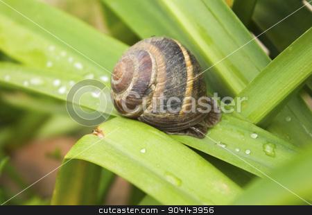 Snail on green leaves stock photo, Snail on green leaves by Silviya Skachkova