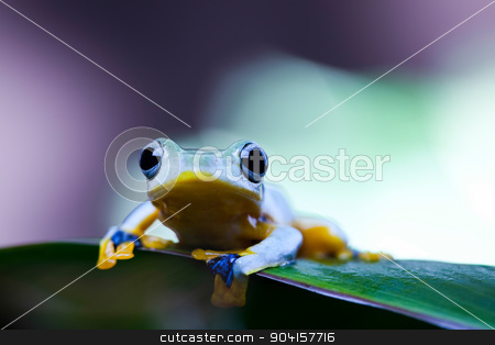 Flying Frog, Rhacophorus reinwardtii on colorful background stock photo, Flying Frog, Rhacophorus reinwardtii on colorful background by Sebastian Duda