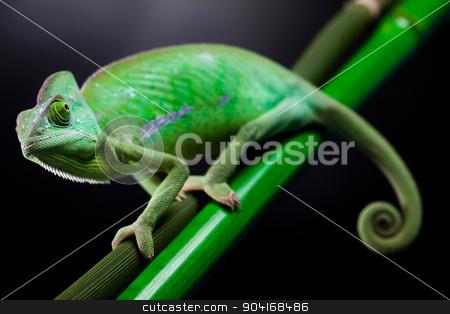 Chameleon, bright vivid exotic climate stock photo, Chameleon, bright vivid exotic climate by Sebastian Duda