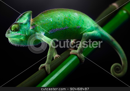 Chameleon, bright vivid exotic climate stock photo, Chameleon, bright vivid exotic climate by Sebastian Duda