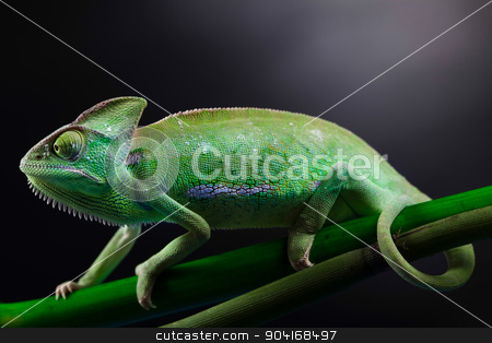 Lizard families, Chameleon, bright vivid exotic climate stock photo, Lizard families, Chameleon, bright vivid exotic climate by Sebastian Duda