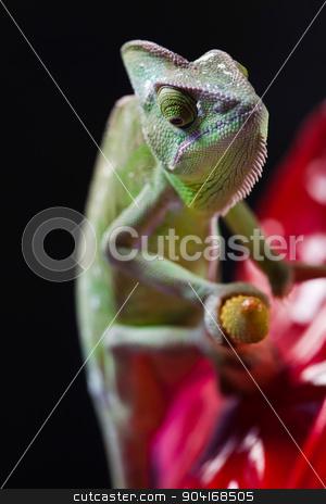 Lizard families, Chameleon, bright vivid exotic climate stock photo, Lizard families, Chameleon, bright vivid exotic climate by Sebastian Duda