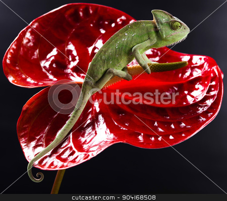 Chameleon and flower, bright vivid exotic climate stock photo, Chameleon and flower, bright vivid exotic climate by Sebastian Duda